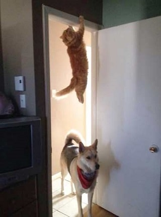 кот весит на двери