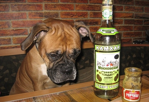 Dog-with-Vodka