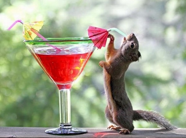 Squirrel-drinks