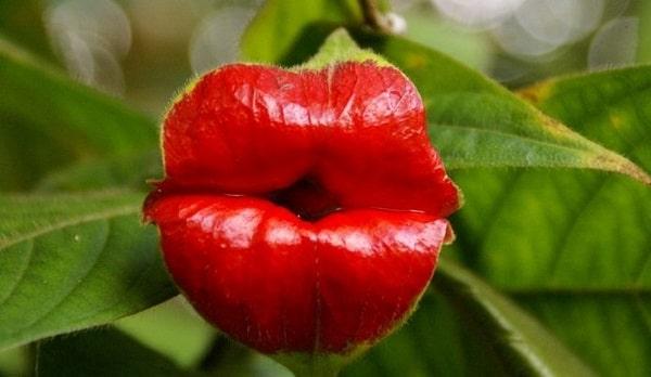 цветок губы